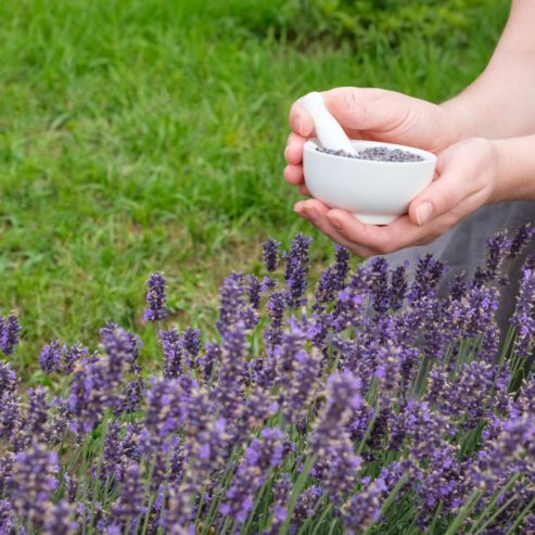 Woman holding in her hands a white mortar of lavender. Blossom lavender flowers.